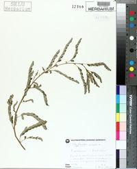Phyllanthus urinaria image