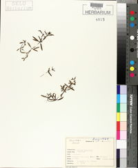 Image of Galium brandegei