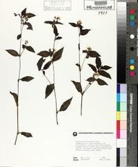 Tradescantia albiflora image