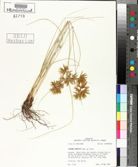 Cyperus oxylepis image